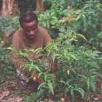 ibogaine category iboga category